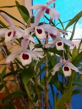 Dendrobium Nobile    I year from Flowering sized