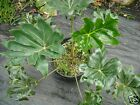 Philodendron adaminantum Seed RARE Evergreen 2-4m Climber Indoor/Outdoor Plant