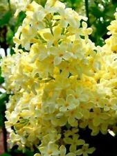 25 Yellow Lilac Seeds Tree Fragrant Hardy Perennial Flower Shrub Garden Seed 362