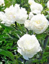 10 POLYPHYLL WHITE TREE PEONY SEEDS - (Paeonia suffruticosa)