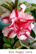 Succulent &cactus,Adenium obesum noB16 puppy love,desert rose usa free ship