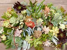 12 Assorted Succulent Cuttings - Quick Ship