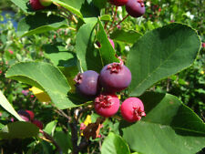 Shadblow Serviceberry Bush - Established Roots - 1 Gallon Trade Pot - 1 Plant
