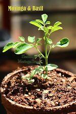 1-Moringa & 1-Basil Seedling Companion Plants in 1 Eco Pot