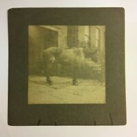 "Antique Cabinet Card Photo ""Dick the Stallion"" Arnold & Abourne Coffee Merchants"