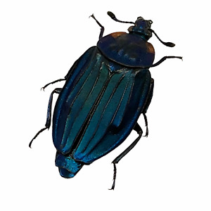 Blue silphidae Beetle (Necrophila renatae) Insect Collector Specimen Art