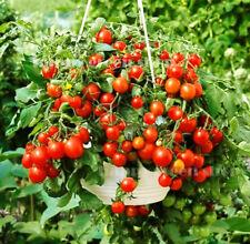 Cherry Tomate-BAJAJA - 40 semillas-tomate Balcón Patio