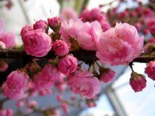 Flowering Almond - Flowering Shrub Healthy Showy Pink Bloom - 1 Plant - 1 Gallon