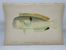 Antique Lithographic Print Reef Fishes Hawaiian Islands Bien 1903 Plate 50