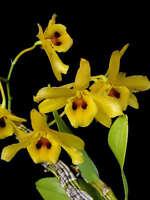 Rare orchid species seedling - Dendrobium friedericksianum eye on lips