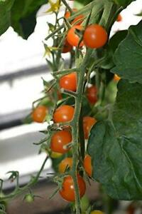 Tomato Cherry Sungold F1 - 10 Finest Seeds - 1st Class