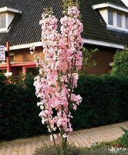 Japanese Amanogawa Pink Flowering Cherry 4-5ft, Upright Growing,Prunus Serrulata