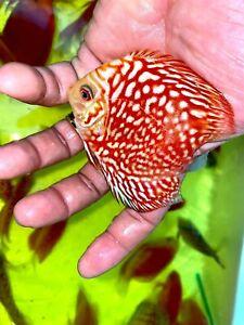 4 Pack Of Discus Live Tropical Aquarium Fish