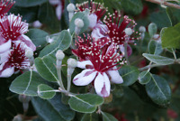 "Pineapple Guava ( 3 ) x 4"" Acca Feijoa sellowiana Tropical Fruit Tree Live"