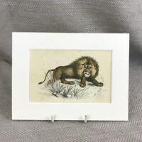 1853 Africano Leone Lions Wild Animali Antico Originale Vittoriano Stampa