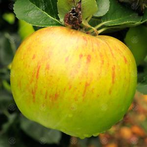 Malus domestica 'Bramley Seedling' | Apple Tree | Garden Fruit Tree | 4-5ft