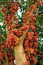 Sycamore Fig  , Ficus sycomorus Fruit Tree seeds (40 Nos) T-042 x 2