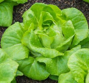 Lettuce All Year Round Seeds x 550 - Butterhead Crisp Heritage Vegetable Salad