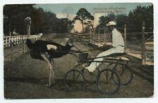 Fl ~ Ostrich Drawn Cart & Jockey Ostrich Farm Florida 1914 Postcard Fellsmere Fl