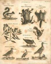 1802  Grey Squirrel Sailing And A Flying Squirrel Snipe Woodcock Curlew Copperpl
