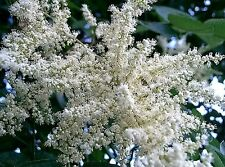 30 CHINESE SUMAC TREE Nutgall White Flowers Red Berries Rhus Chinensis Seeds