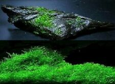 Schönster Unterwasserfarn der Welt bis 8 cm hoch für das Aquarium / 5 Pflanzen