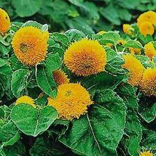 Sunflower-Teddy Bear (Dwarf Sungold)- 100 Seeds