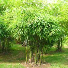 20 graines ventre de Buddha bambou Bambusa Ventricosa belly bamboo seeds samen