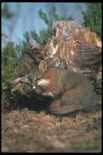 109038 Gray Fox Otoño A4 Foto Impresión
