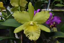 Orchid Plant Blc Prada Green Deluxe 'Nn' Bloom Size