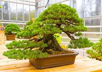 die Schmalblatt-Kiefer eine wunderbarer Miniaturbaum, auch Bonsai genannt.