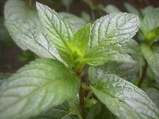 500 Graines de MENTHE POIVRÉE Plante Aromatique