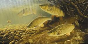 """Superb fishing Art print """"Chub in the roots """" David Miller Signed artist proof"""