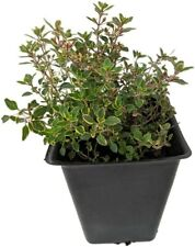 "Lemon Thyme Mosquito Repelling Creeping Live Plant 3"" Pot Garden Outdoor Indoor"