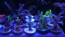 Mixed Sps 10 Frag Pack Live Coral Free Overnight Shipping Saltwater Aquarium