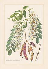 Robinie-robinia pseudoacacia stampa a colori di 1960 acacia fittizio Acacia