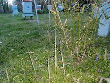 Live Bamboo Plant Bonus pc free