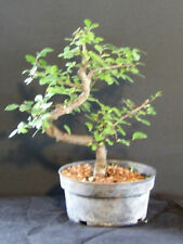 CHINESE ELM  Pre Bonsai Tree  Great Gift !