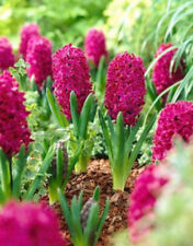 10 Hyacinth Bulbs - Woodstock - size 14-16+ cm - Fall Planting Spring Blooms