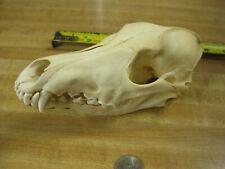 Coyote Skull # 1 & 2 s