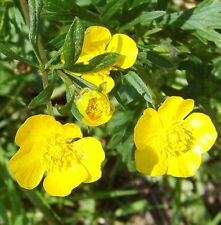 """New listing 30 Live Hardy Yellow Buttercup Flower 3""""-7"""" tall ea rooted +3 Free Sample Plant"""