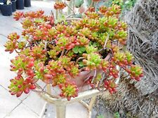 "Live- ""Jelly Beans"" Succulent -Rubrotinctum"