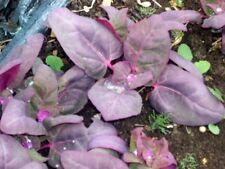 500 Orach Seeds Purple Spinach Mountain Spinach