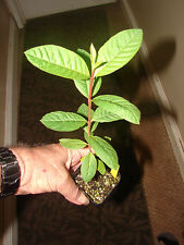 ~LUCKNOW 49~ WHITE GUAVA FRUIT TREE Tiny Tasty Thai Fruits LIVE potted Plant