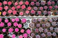 Notocactus Mixed Varieties 20 seed, cactus seeds