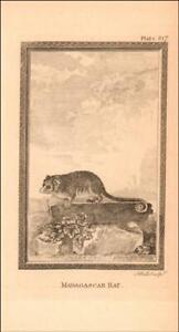MADAGASCAR RAT by Comte de Buffon, antique engraving original 1758