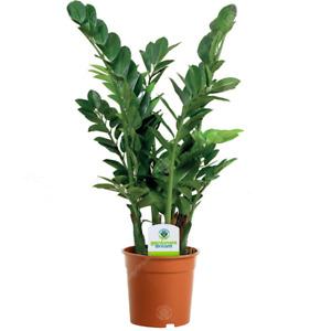 Zamioculca Zamiifolia - 1 Plant - House / Office Live Indoor Pot Plant Tree