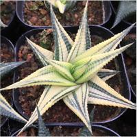 Haworthia limifolia Marl Var Succulent plants potted Plants Home Garden Bonsai