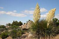 Garten Pflanzen Samen winterharte Zierpflanze Saatgut Baum Zierstrauch YUCCA
