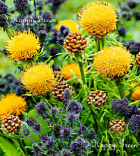 YELLOW GLOBE CORNFLOWER - 60 seeds - Centaurea macrocephala - Bees attracting